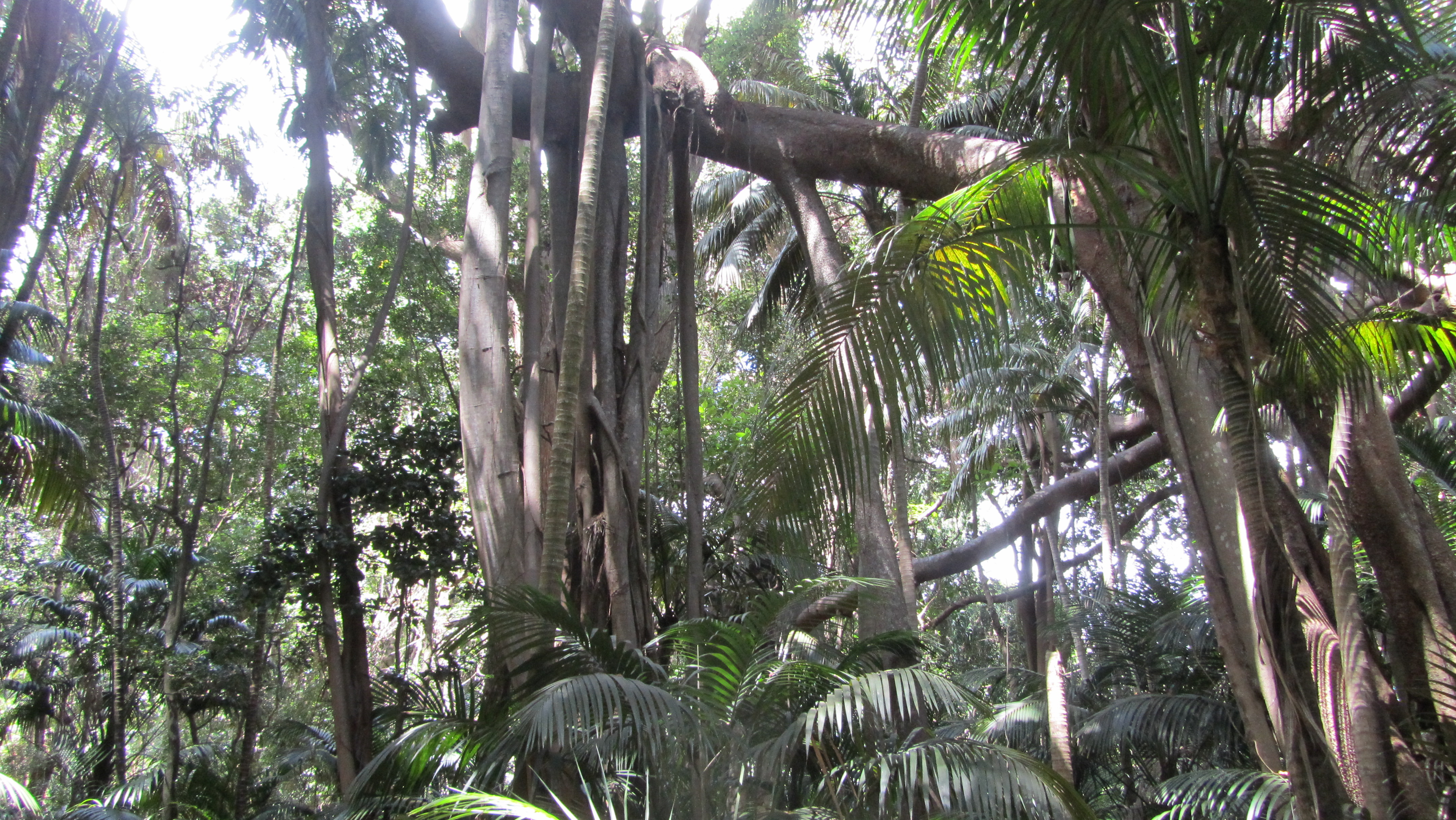 Anyone Growing The Lord Howe Ficus Macrophylla Tropical Looking Plants Other Than Palms Palmtalk