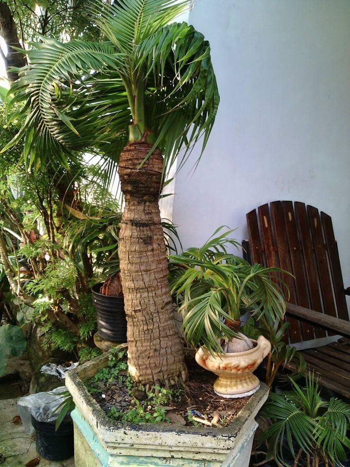 Samoan Dwarf Coconut Discussing Palm Trees Worldwide