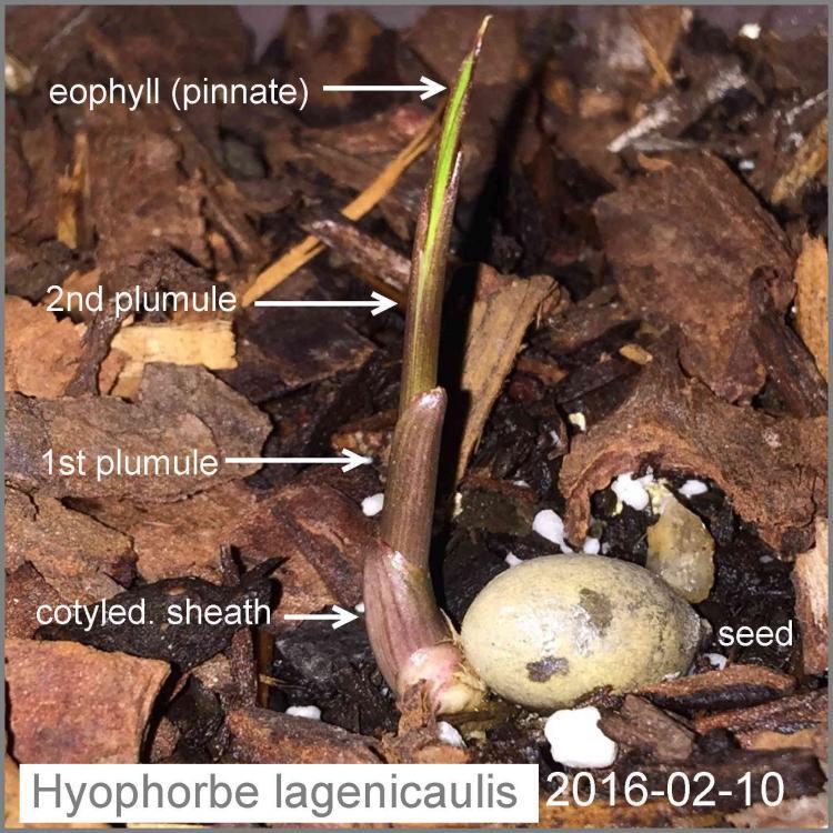 Hyophorbe lagenicaulis 2016-02-10.jpg