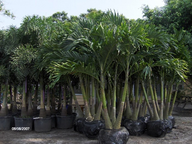 How Big A Palm Could Get In A Pot?