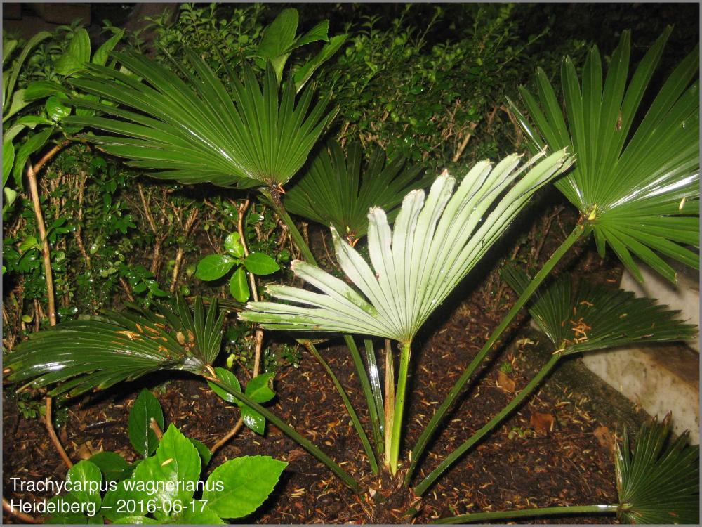 5766d4c9ddf46_Trachycarpuswagnerianus201