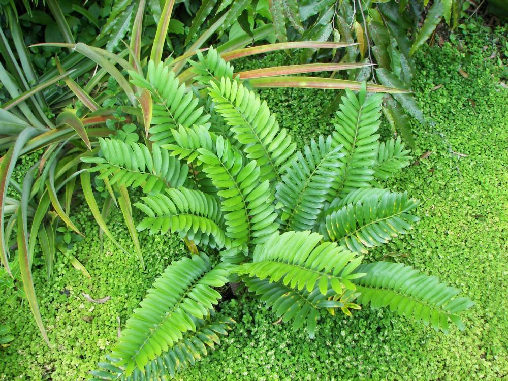 Zamia pygmea #1, 6-'16.JPG