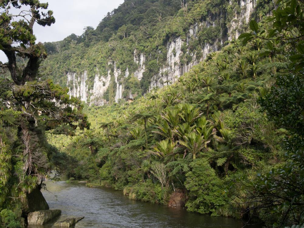 Pororari_River_Track,_Paparoa_national_Park.__big_tree_and_nikau_(1_of_1).jpg