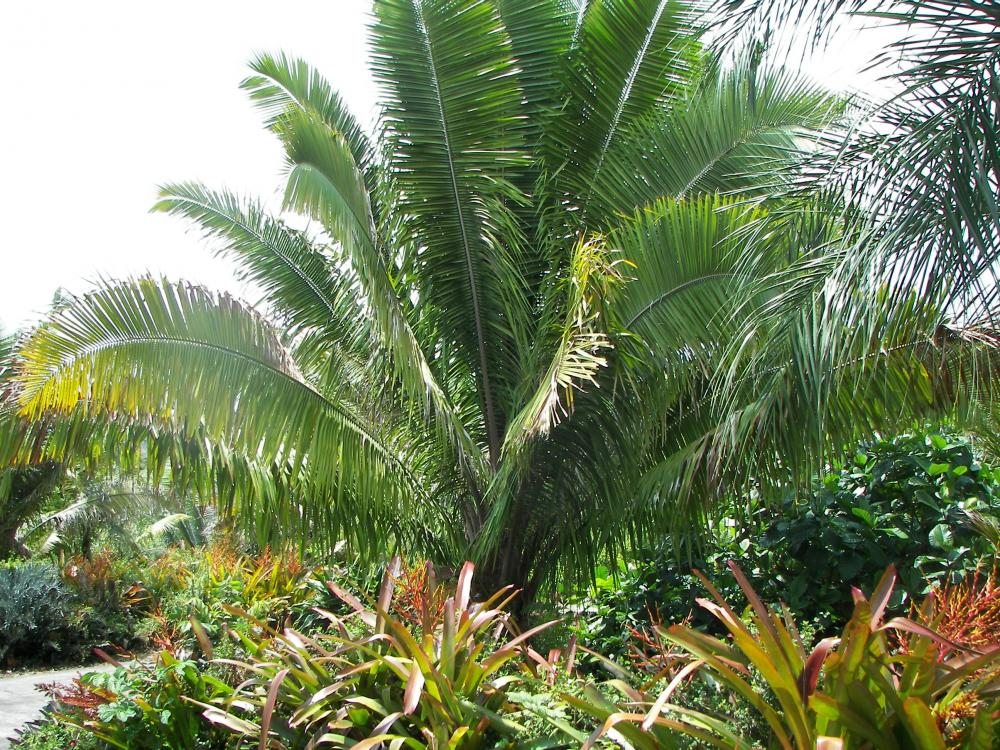 Attalea guacayule, 7-'16.JPG