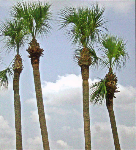 cabbage-sabal-palm-trees-hurricane-cut-b