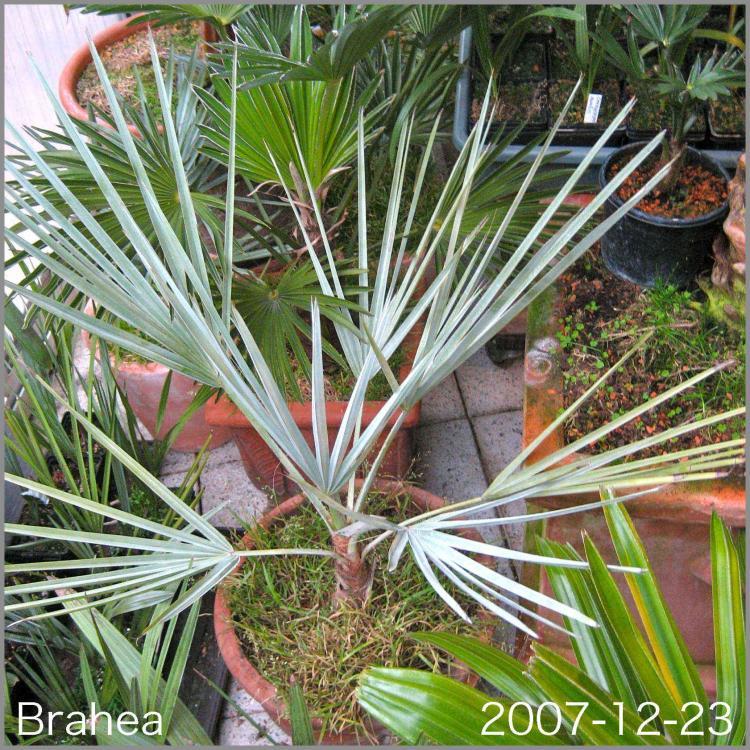 5831e3b245318_Brahea2007-12-23.thumb.jpg