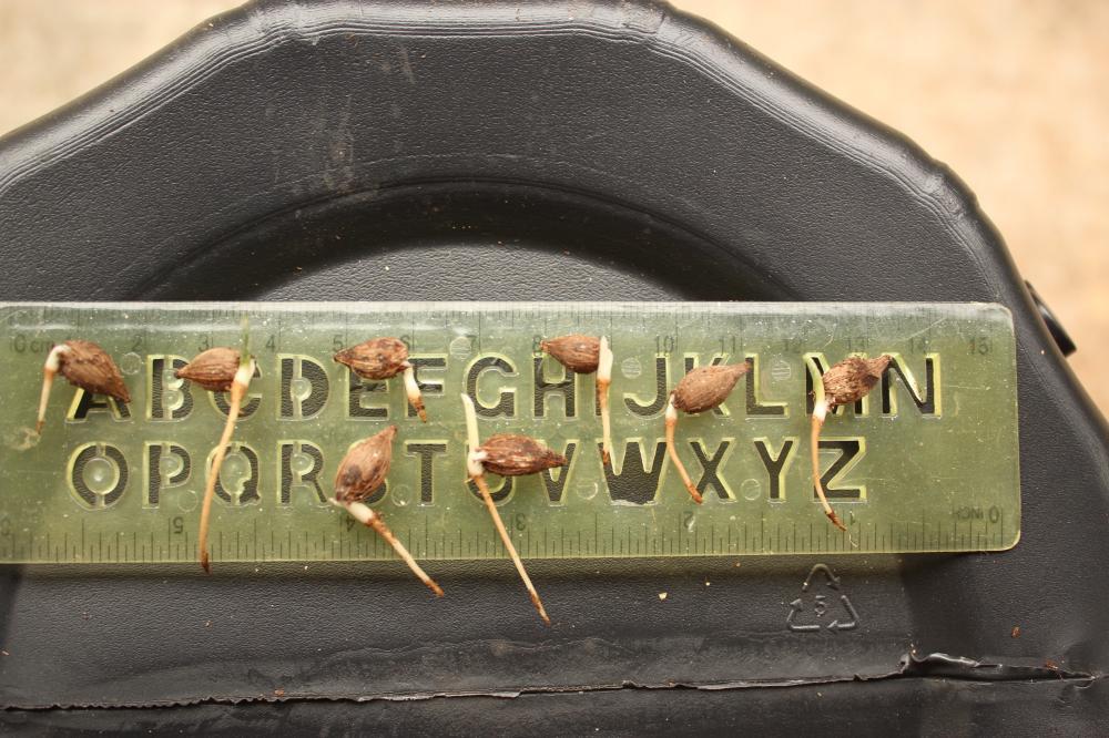 58431c5cc77f5_Lytocaryumitapebiensis004.