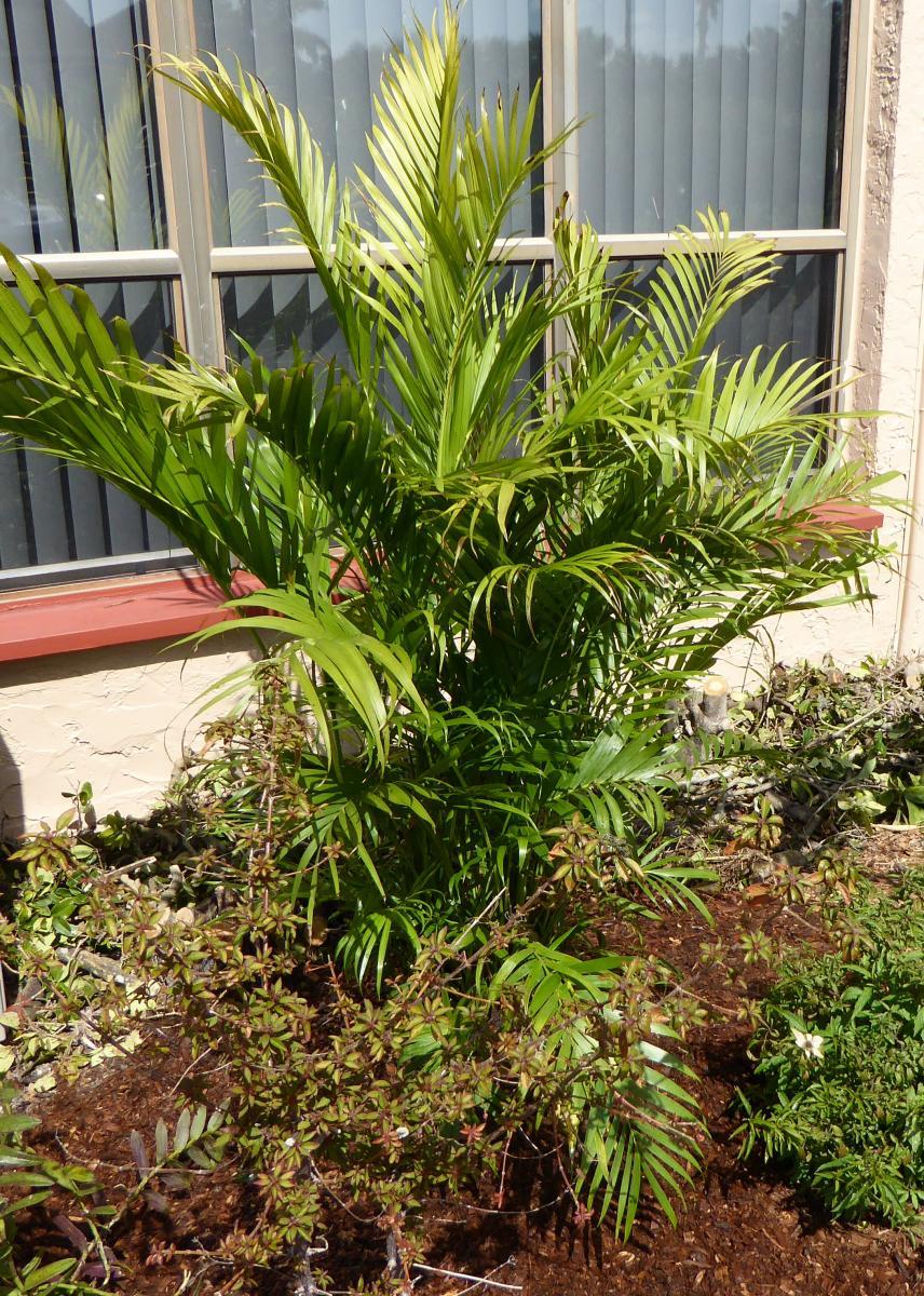 Chamaedorea Cataractarum, Cat Palm