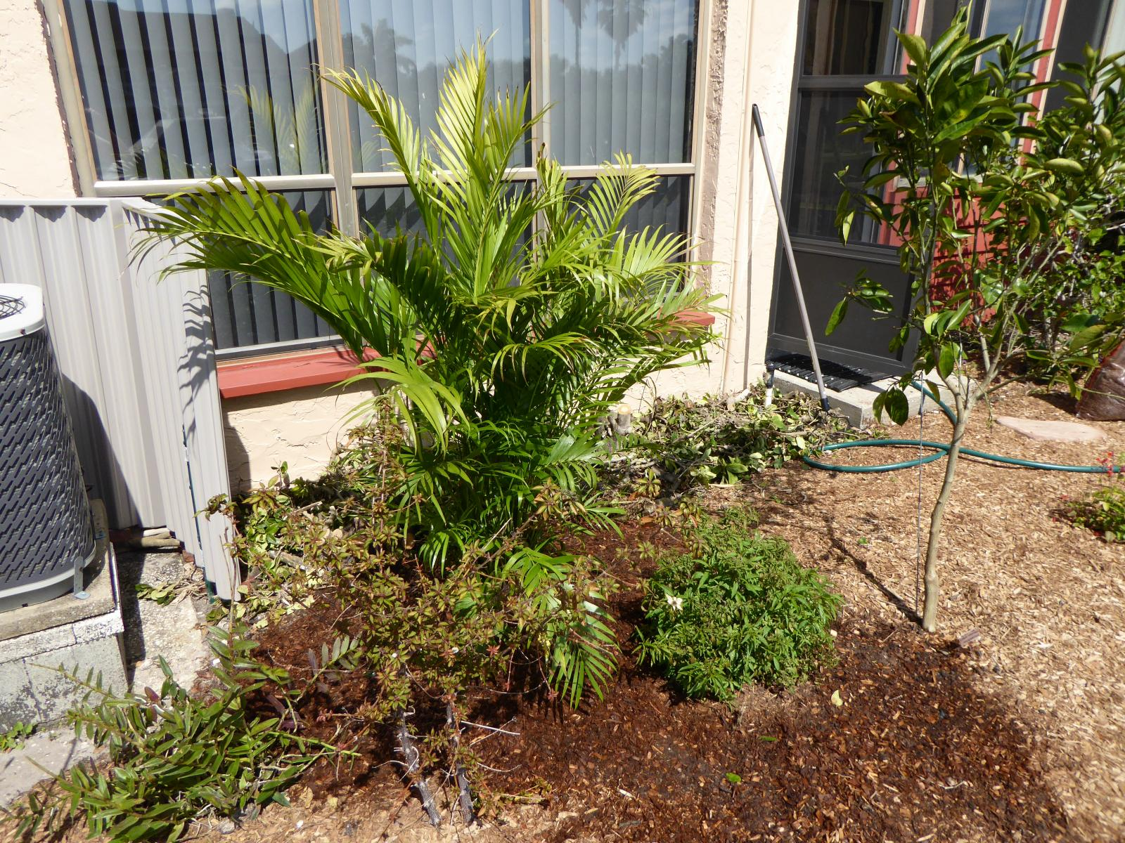Cat palm at planting, January 2016