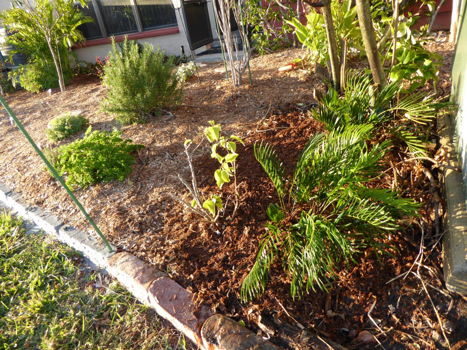 Coonties at planting, January 2016
