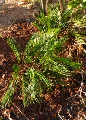 Zamia Floridiana, Coontie