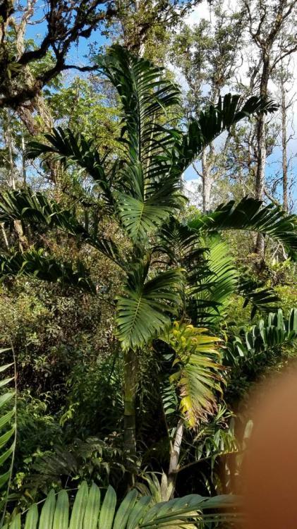 58989c281f9ad_palmtree2.thumb.jpg.e12c4c