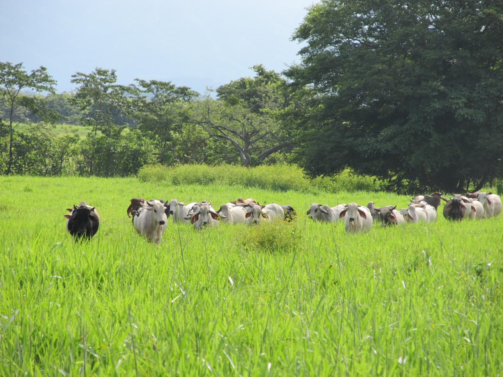 Some Brahman bulls