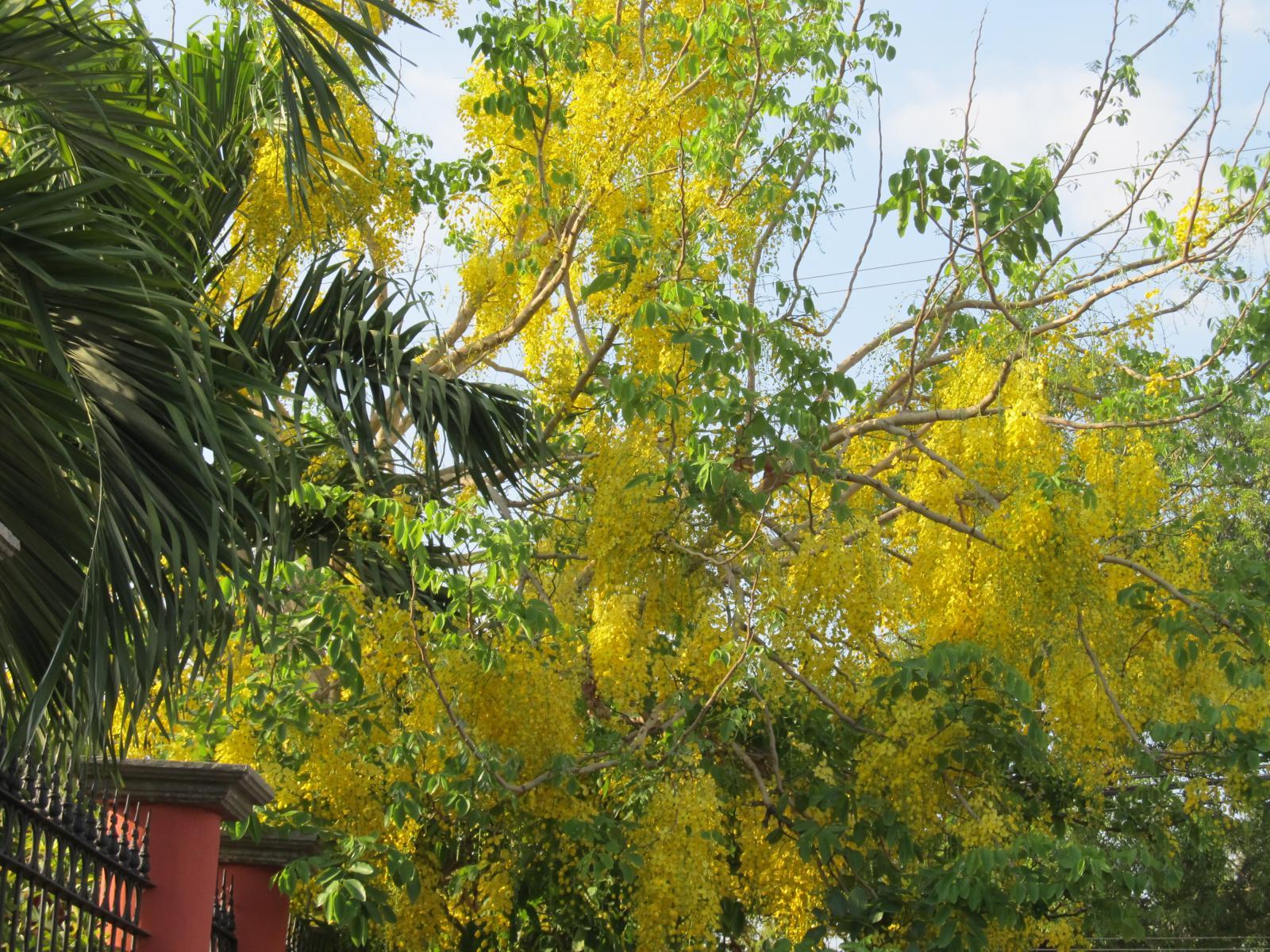 Flor cassia fistula2.JPG