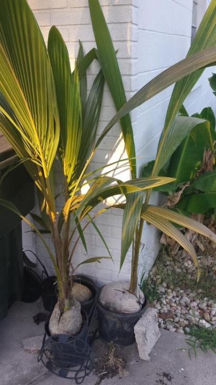 20170425_Coconuts.jpg