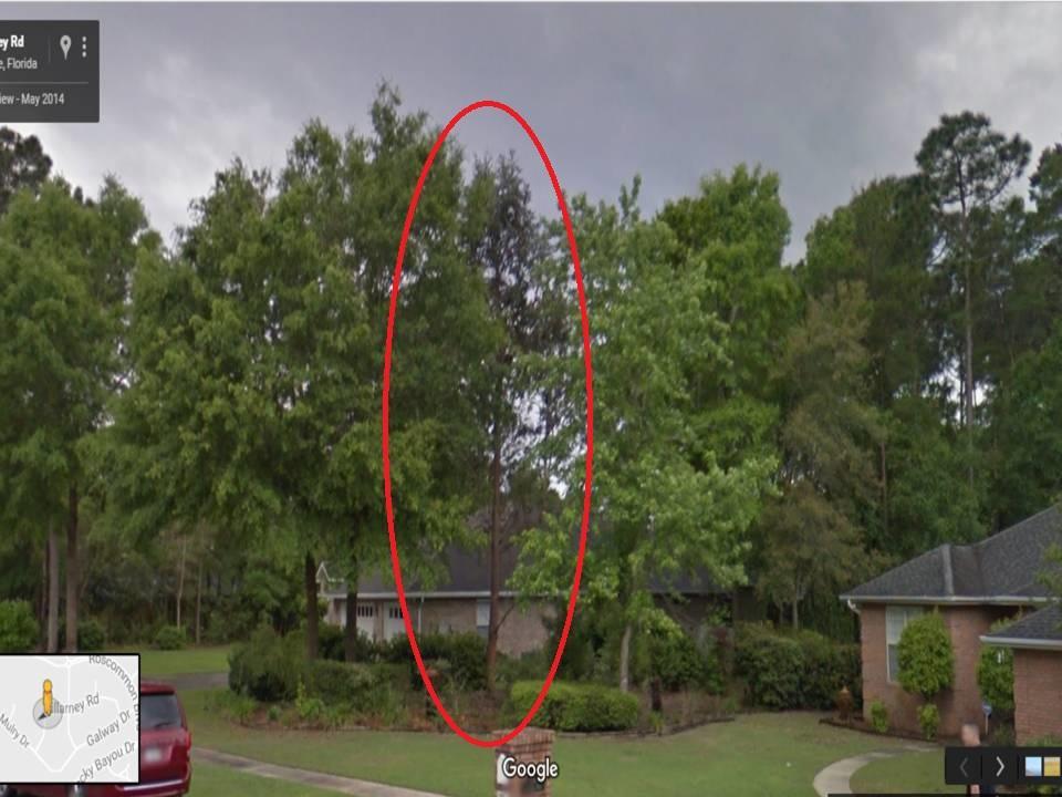Eucalyptus In The Southeast U S