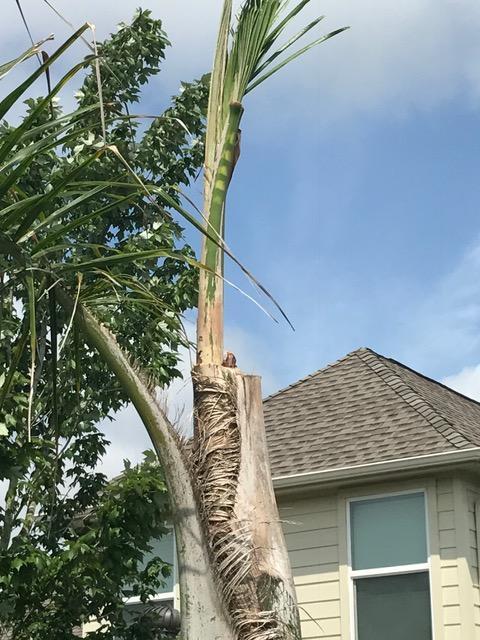 palm 2 weeks after cut.JPG