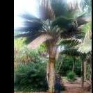 Palmcycasnut