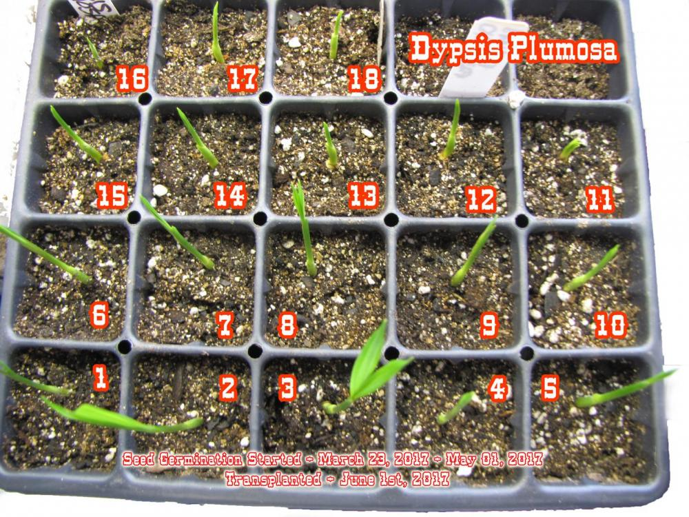 5939cb7bd4e43_DypsisPlumosa.thumb.jpg.0c