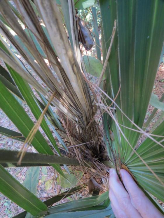 windmill palm problem 11-3-17 005.JPG
