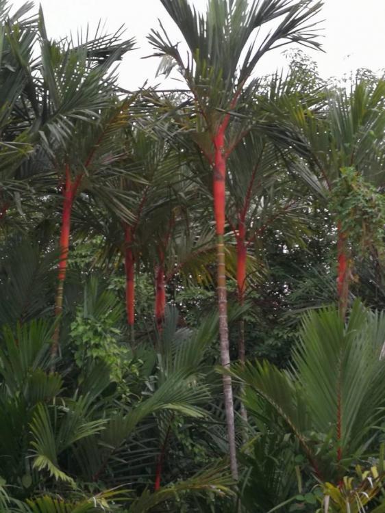 Fresh Seeds U0026gt Cyrtostachys Renda Lipstick Palm  Location