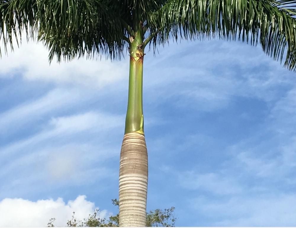 Royal Palm Bloom.jpg
