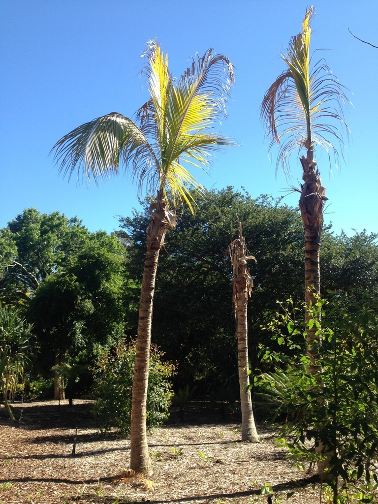 Sydney coconut palm.jpg
