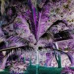 Zoo Palm Nut