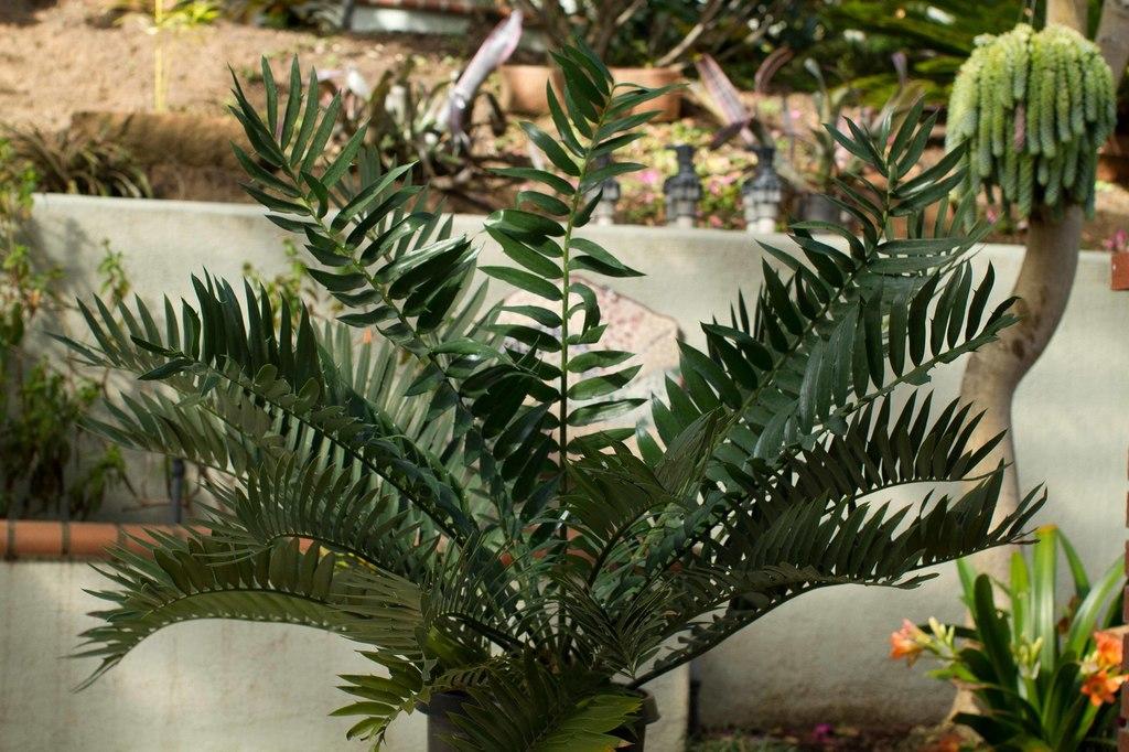 20110219-IMG_2145 Encephalartos arenarius x woodii potted.jpg