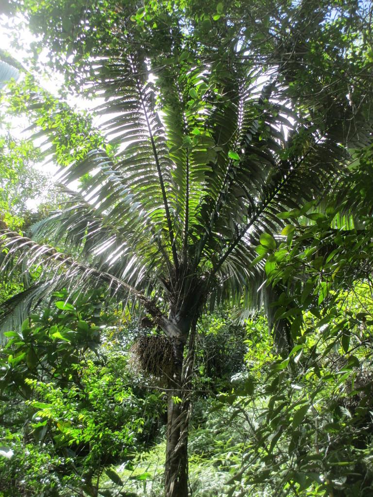 5b2ff2deafb4e_Day4-20-Oenocarpusbataua.t