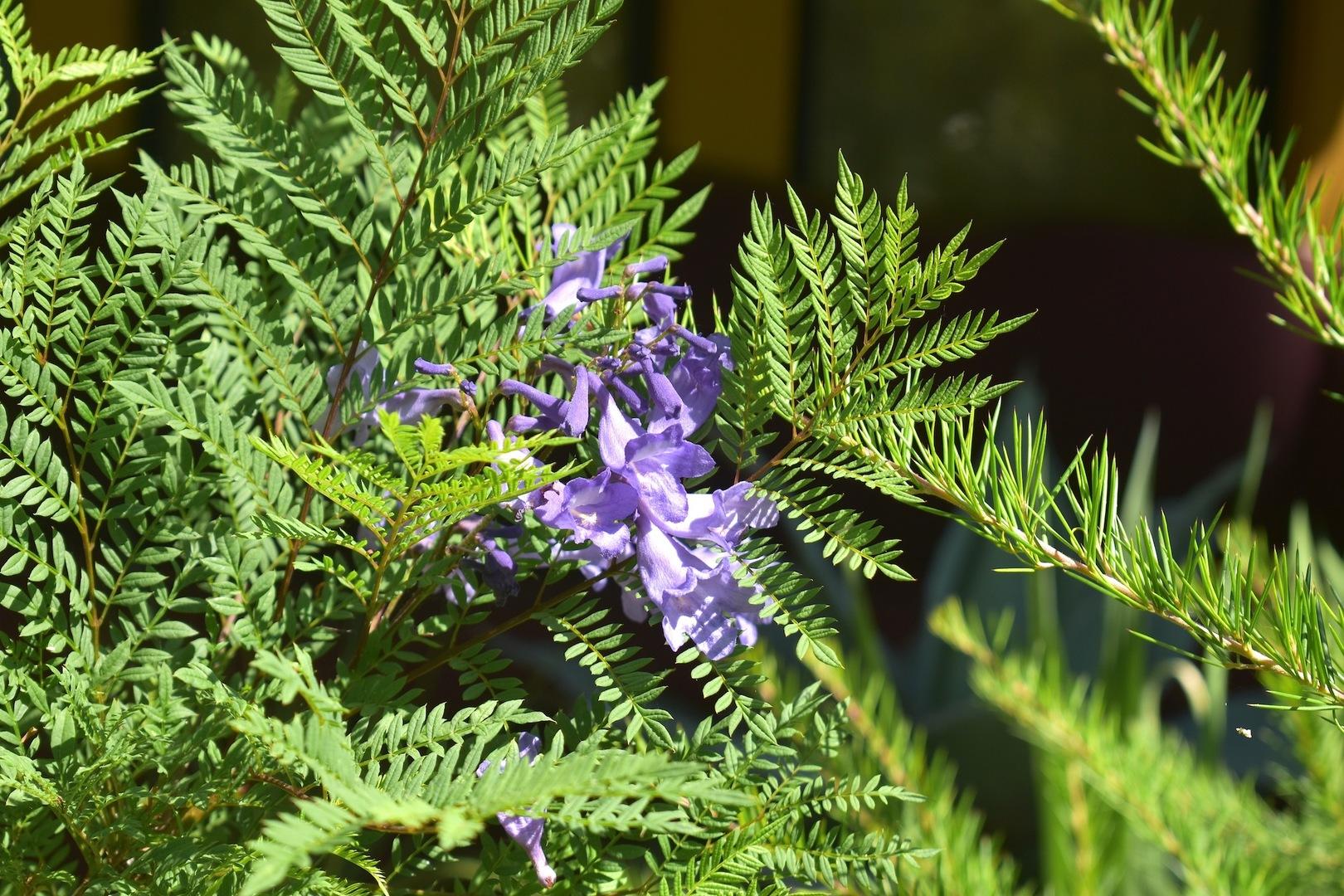 Jacaranda Bonsai Blue A Dwarf Jacaranda Tropical Looking Plants Other Than Palms Palmtalk
