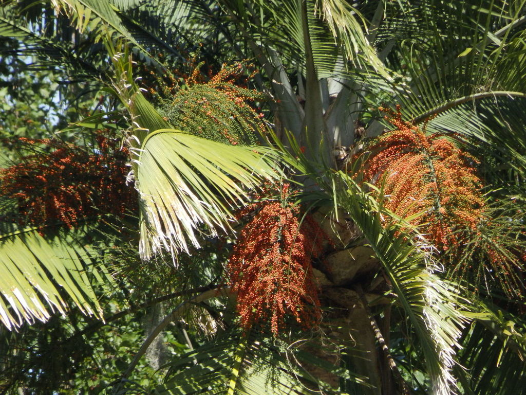 Majesty palm seeds.JPG