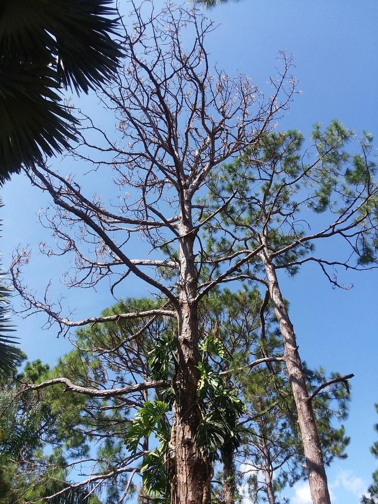 Dead slash pine 1.jpg