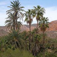 ActualTrachycarpus