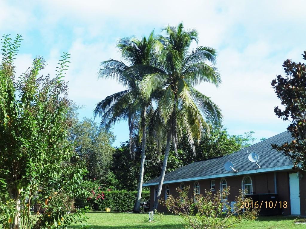Lake Pearl Drive coconut palms.JPG