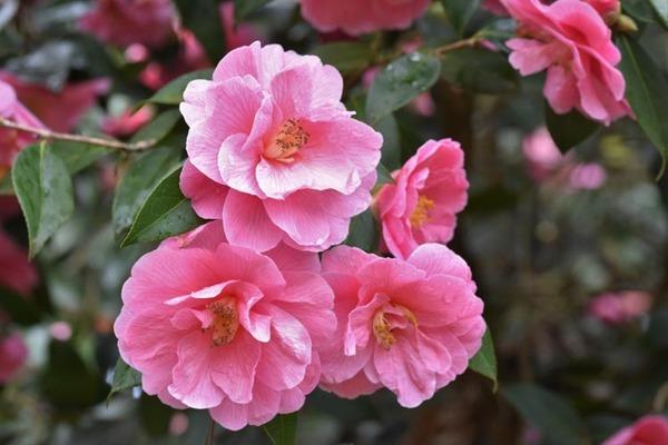 camellia-donation.jpg