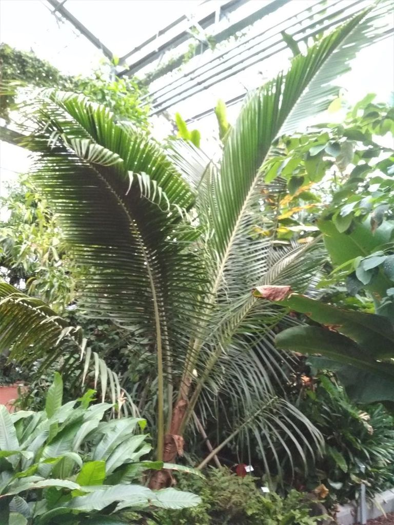 Sua coconut 1.jpg