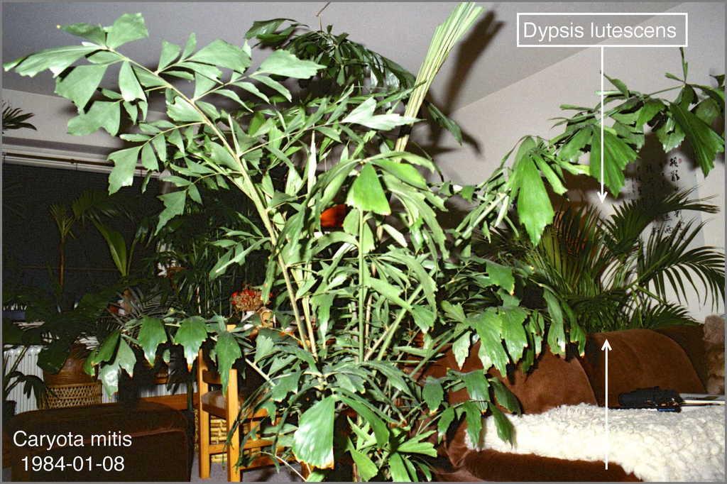 5c367f22964b8_Dypsislutescens1984N01-011