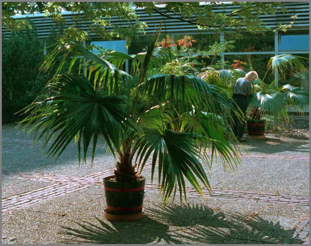 Livistona chinensis 1989-09-07 N18.jpg