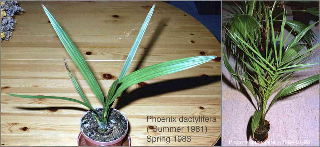 5c3680e5e29e5_Phoenixdactylifera198384.t