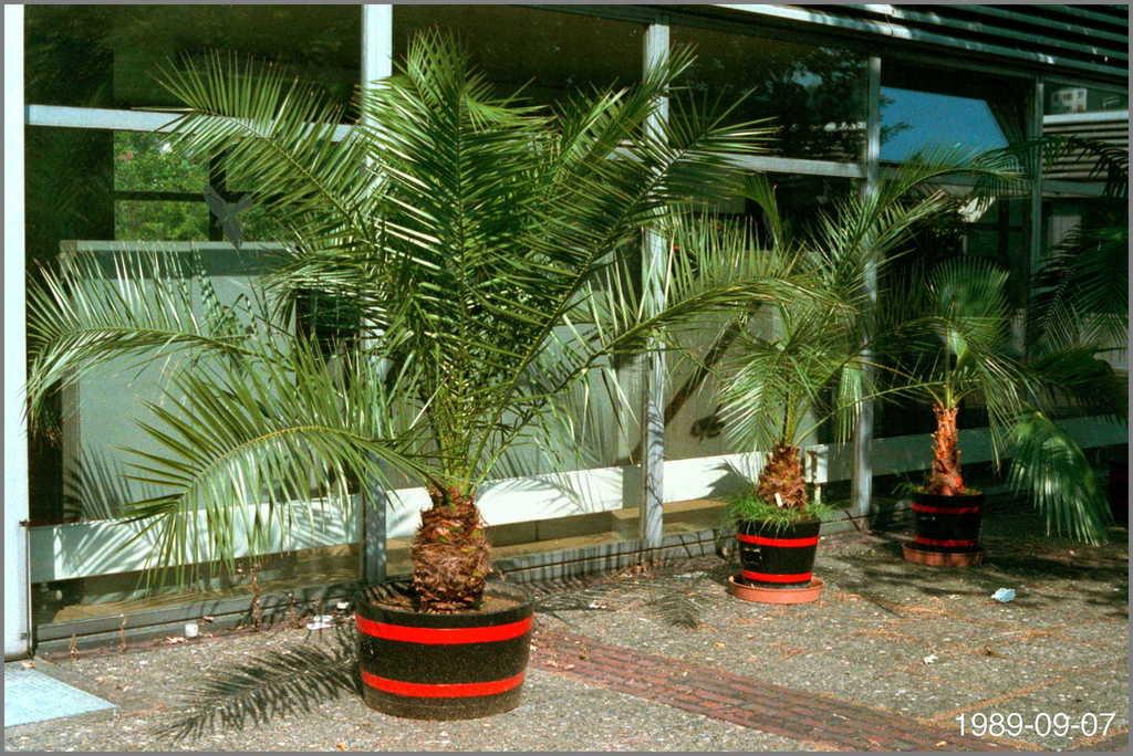 5c3680eeb2211_Phoenixcanariensis1989-09-