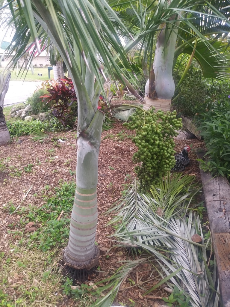 buccaneer palm with seeds.jpg
