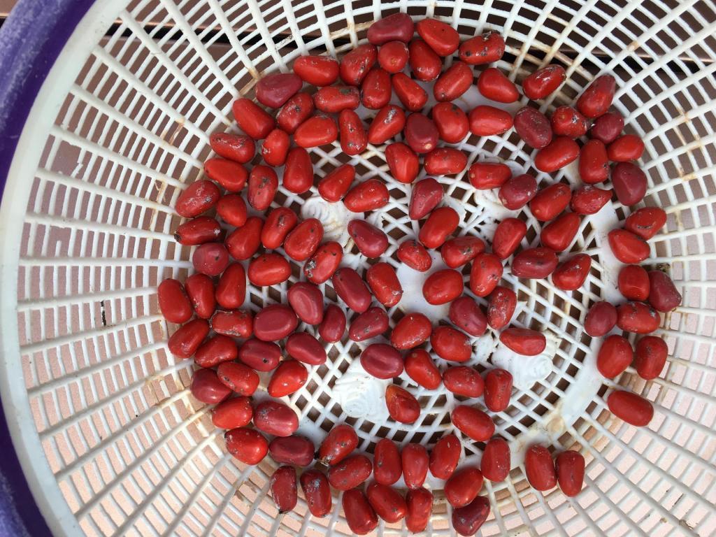 Zamia_hyb_seeds_01_1-31-19.thumb.JPG.0596eafbd2f9e8f5cedfed6d4704e2a7.JPG