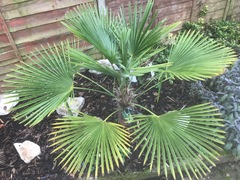 Trachycarpus Fortunei.jpg