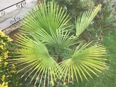 Trachycarpus Princeps.jpg