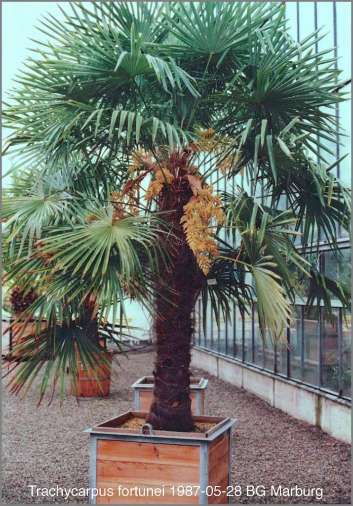 1298872539_Trachycarpusfortunei1987-05-28.thumb.jpg.b8bee7ae0ae0a7c0e72380752ba8dd69.jpg
