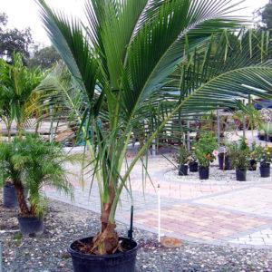 Coconut_Palm_25_gal2lg-300x300.jpg