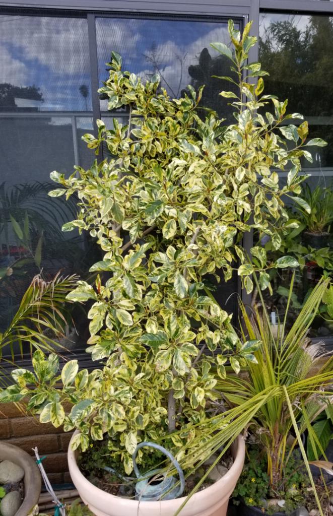 Ficus_rubiginosa_variegata.png