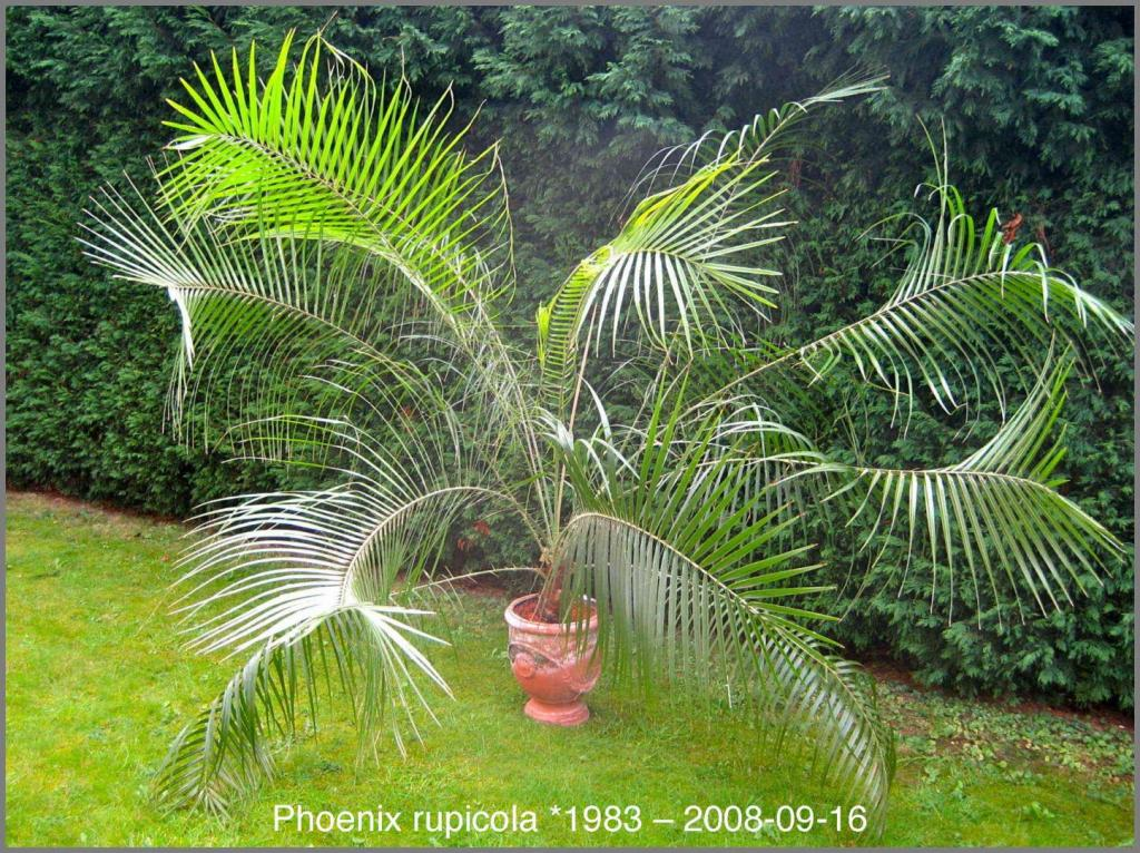 1554627338_Phoenixrupicola2008-09-16.thumb.jpg.0b12ff933886b0c6a9e09e7c8b5d39bd.jpg