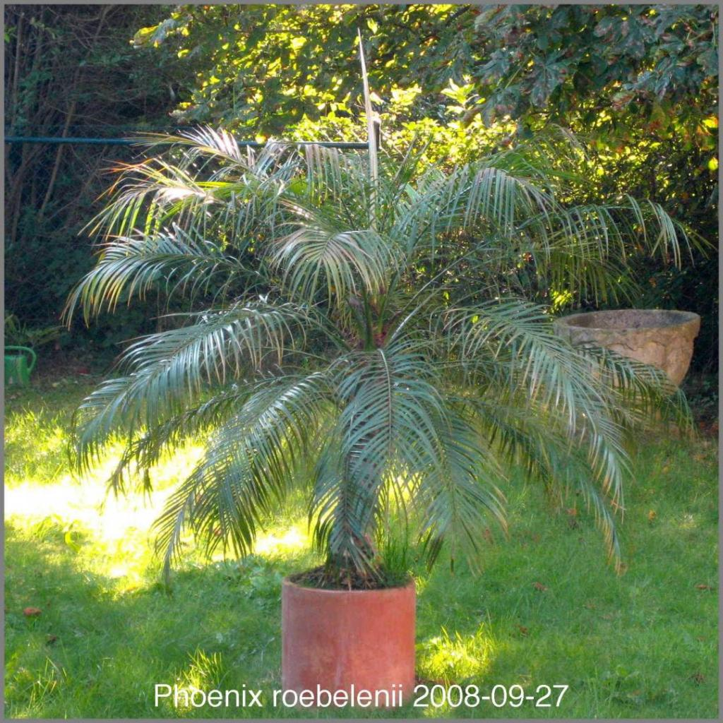 1570392008_Phoenixroebelenii2008-09-27IMG_1524.thumb.jpg.9639d6f6fb83cb1b9d029c2e41e57f4f.jpg